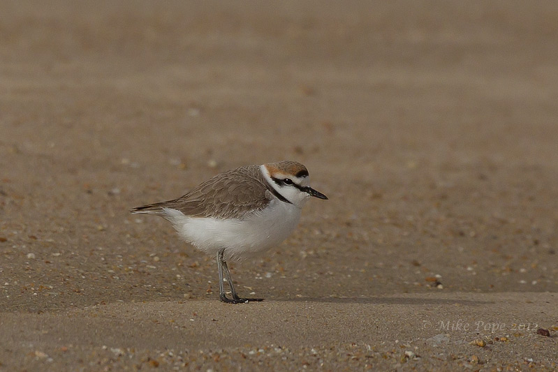 plover hindu singles The biggest threat to the greater one-horned rhino, also known as the indian  rhino  the greater one-horned rhino is identified by a single black horn about 8- 25.