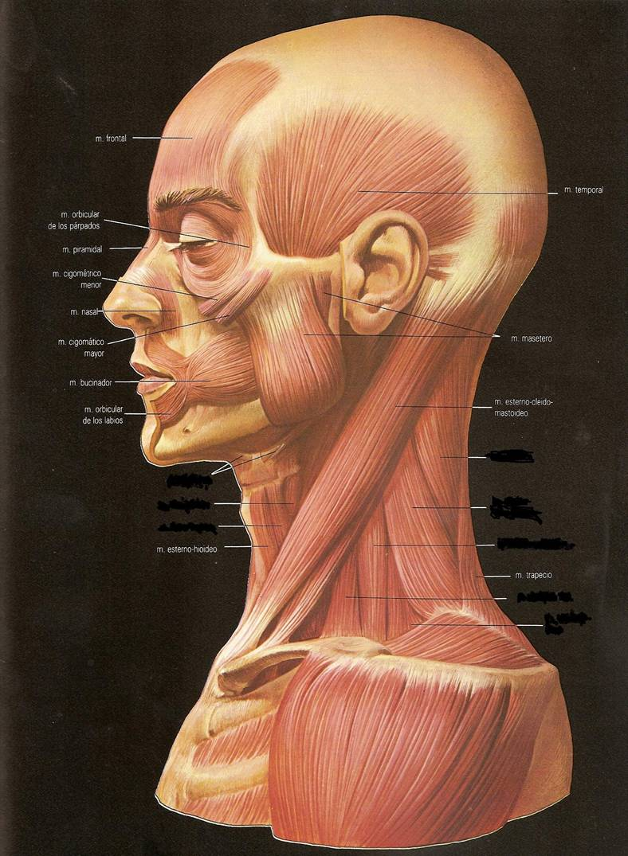 miblogdeanatomía: Músculos del cuerpo humano
