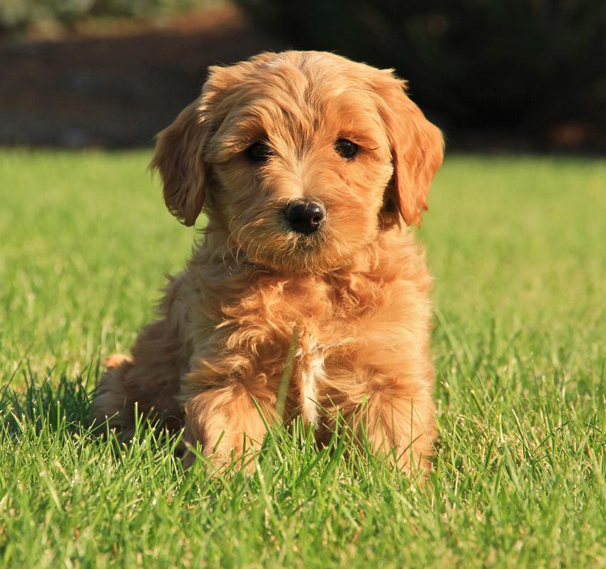 Joy's Available Australian Labradoodle Puppies - Mountain ...