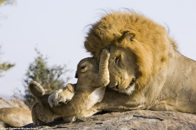 Lion cub meets his dad for the first time on Kenya, nice to meet you dad