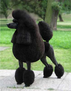 Poodle Black Color