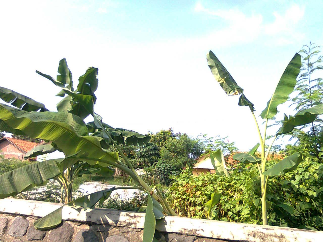 Pohon pisang yang ditanam di tanggul
