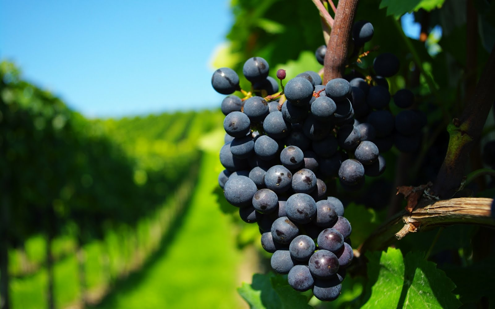 Racimo de Uvas en los Viñedos de Chile (Ruta del Vino)