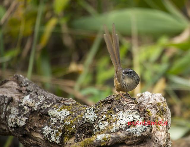Hill Prinia (Prinia atrogularis)