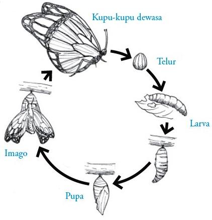 Filum arthropoda pengertian ciri ciri klasifikasi reproduksi proses metamorfosis sempurna pada ordo lepidoptera ccuart Gallery
