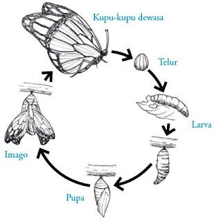 Proses metamorfosis sempurna pada Ordo Lepidoptera