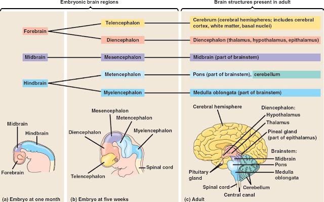 Brain Development2