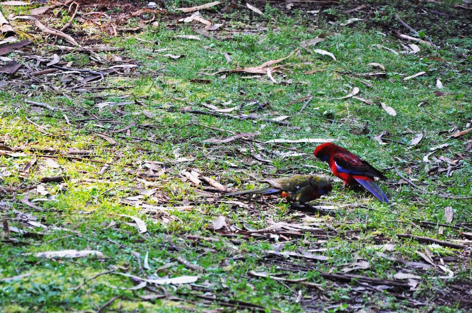 birdwatching walks healesville victoria picnic park
