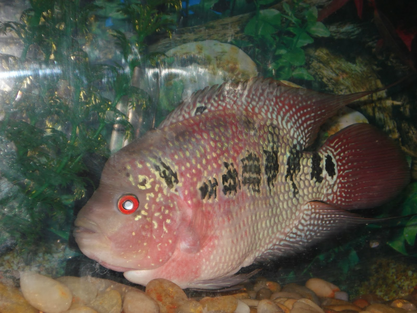how to grow flowerhorn faster