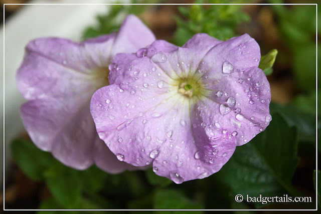 lilac petunias with rain drops on delicate petals after storm