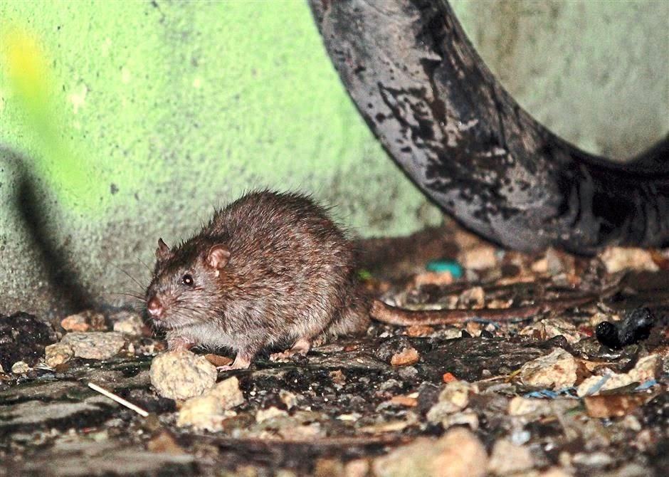 Ada 7 juta tikus di Kuala Lumpur !, kenapa banyak sangat !