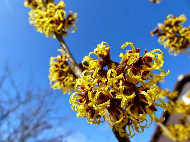 plantes médicinales contre les hémorroïdes