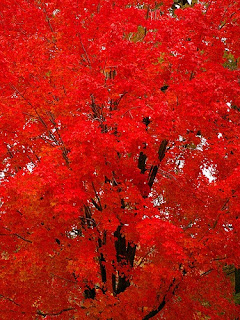 Colorful Pictures red trees of Fall