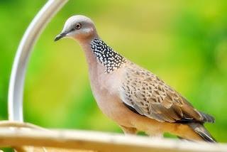 Habutat Burung Derkuku Atau Burung Terkukur Di Lihat dari Spesiesnya