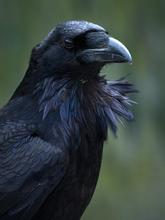 The Raven's are calling......