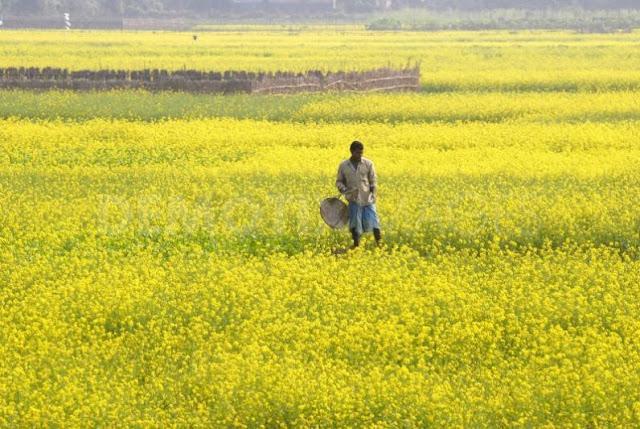 farmer cultivating the crop field