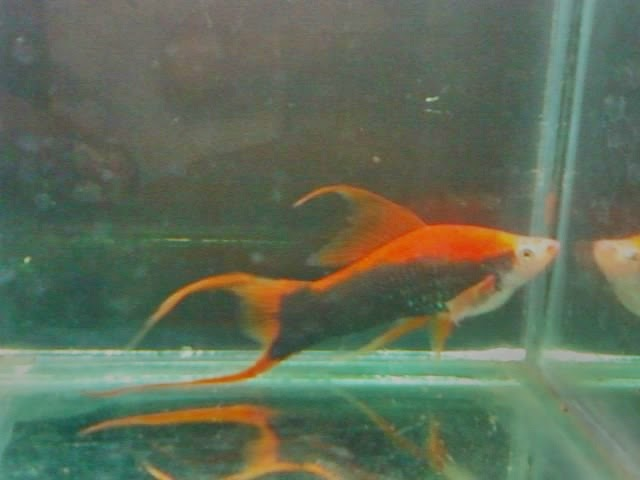 Platy fish keeping your platy healthy with proper care for Healthiest types of fish