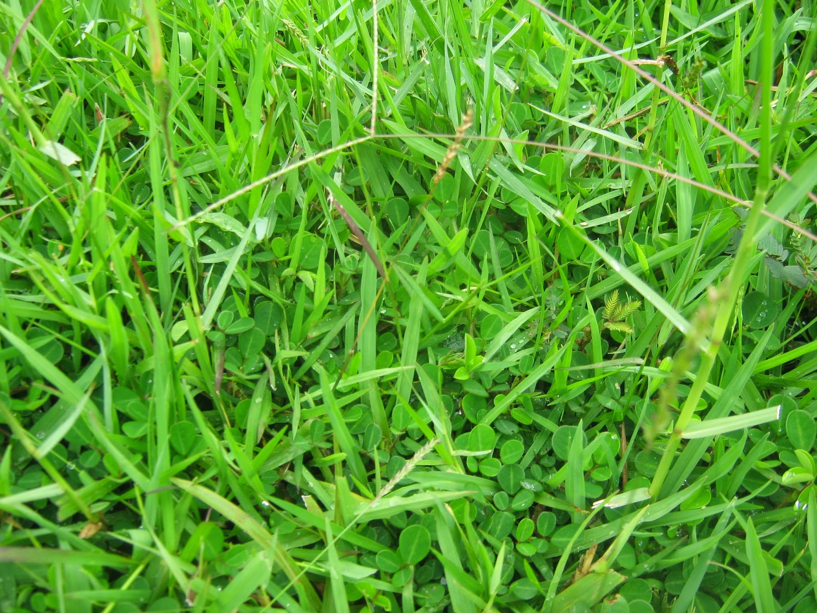 Types of lawn grass weeds - Controlling A Grassy Weed In A Lawn Grass Is Difficult Since Most Chemicals Cannot Distinguish Between Good And Bad Grass Species