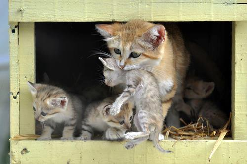 Mother cat taking her kittens outside