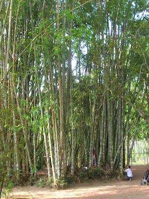 Cañas bambú, Jardín Botánico, jardim Botânico, Rio de Janeiro, Brasil, La vuelta al mundo de Asun y Ricardo, round the world, mundoporlibre.com