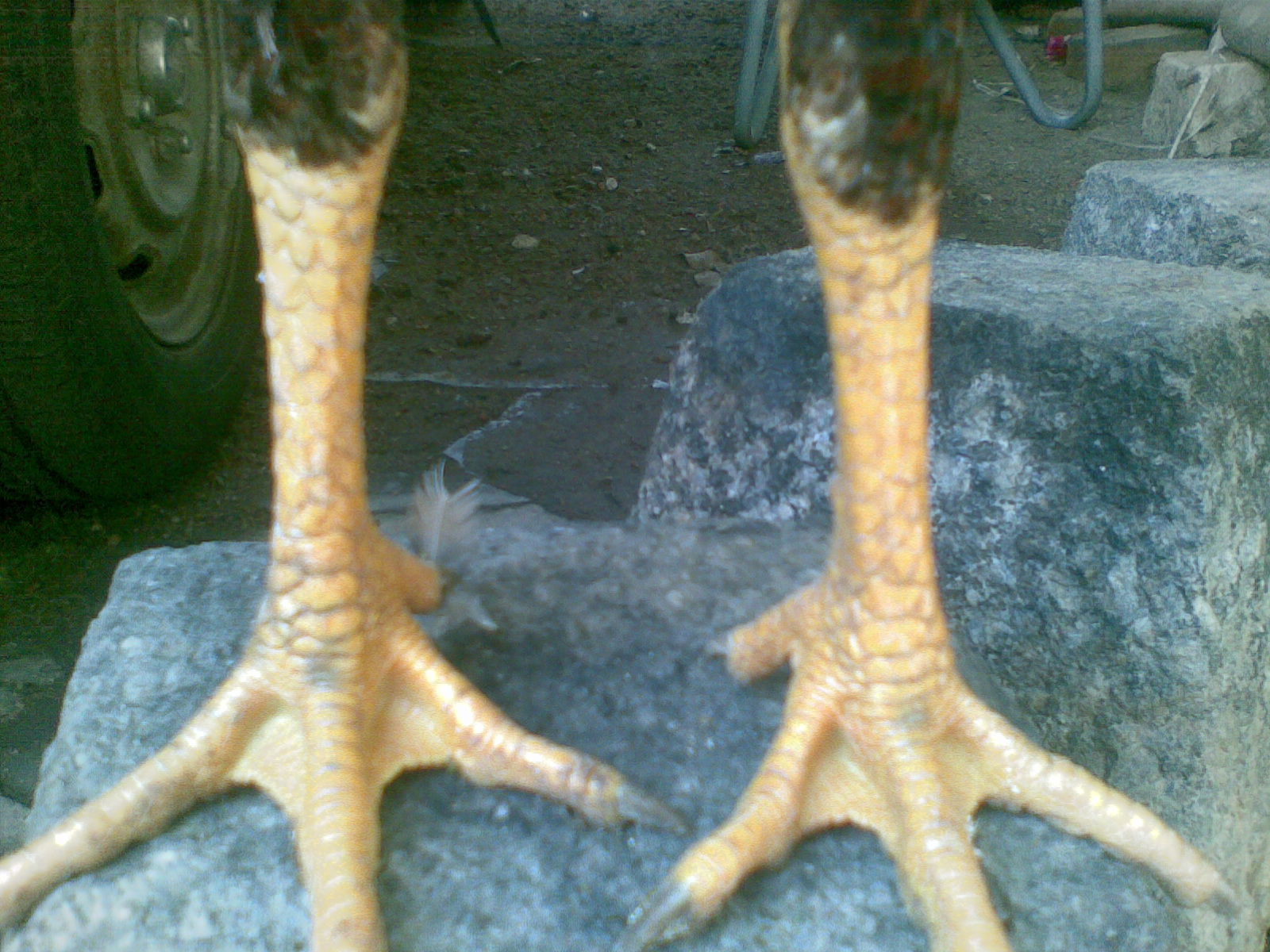 Ayam Siam / Ayam Sabung