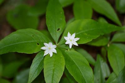 Starflower (Trientalis borealis)