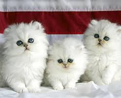 Merawat Kucing Anggora Dengan Mudah