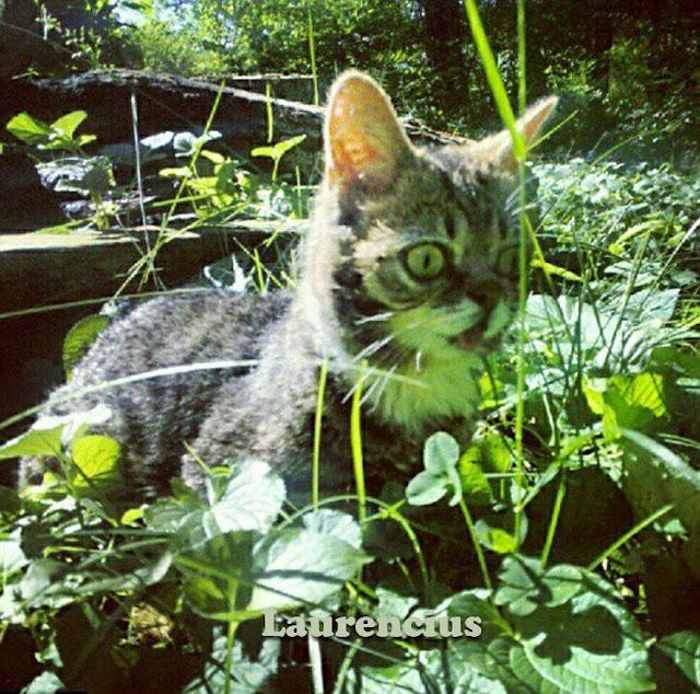 Kucing-Kurcaci-Lil-Bub_1