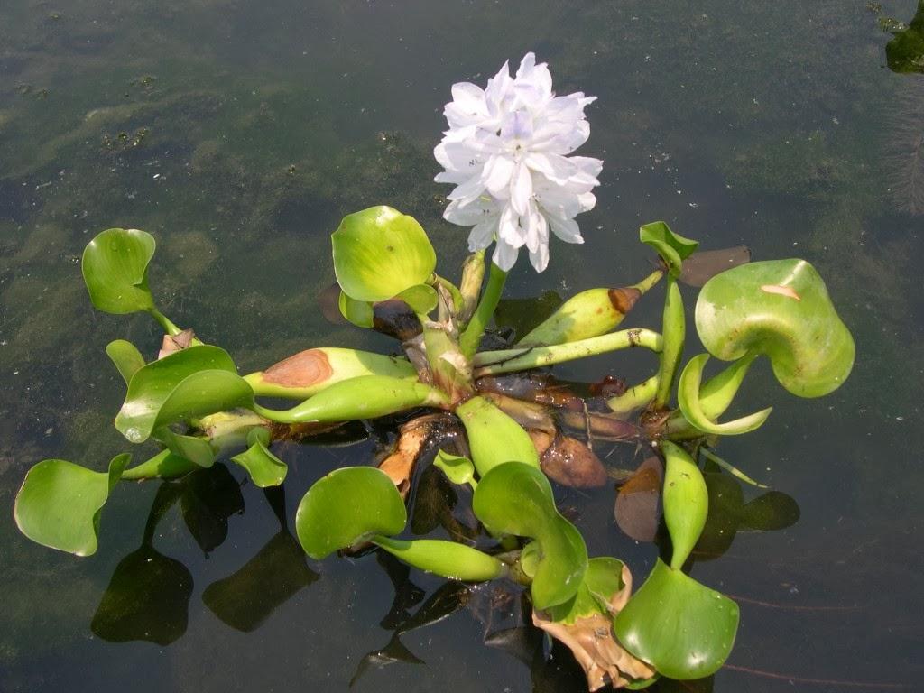 Arte y jardiner a plantas acuaticas flotantes 1 parte - Jacinto planta cuidados ...