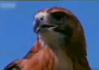 elang raptor