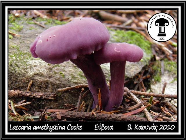 Laccaria amethystina Cooke