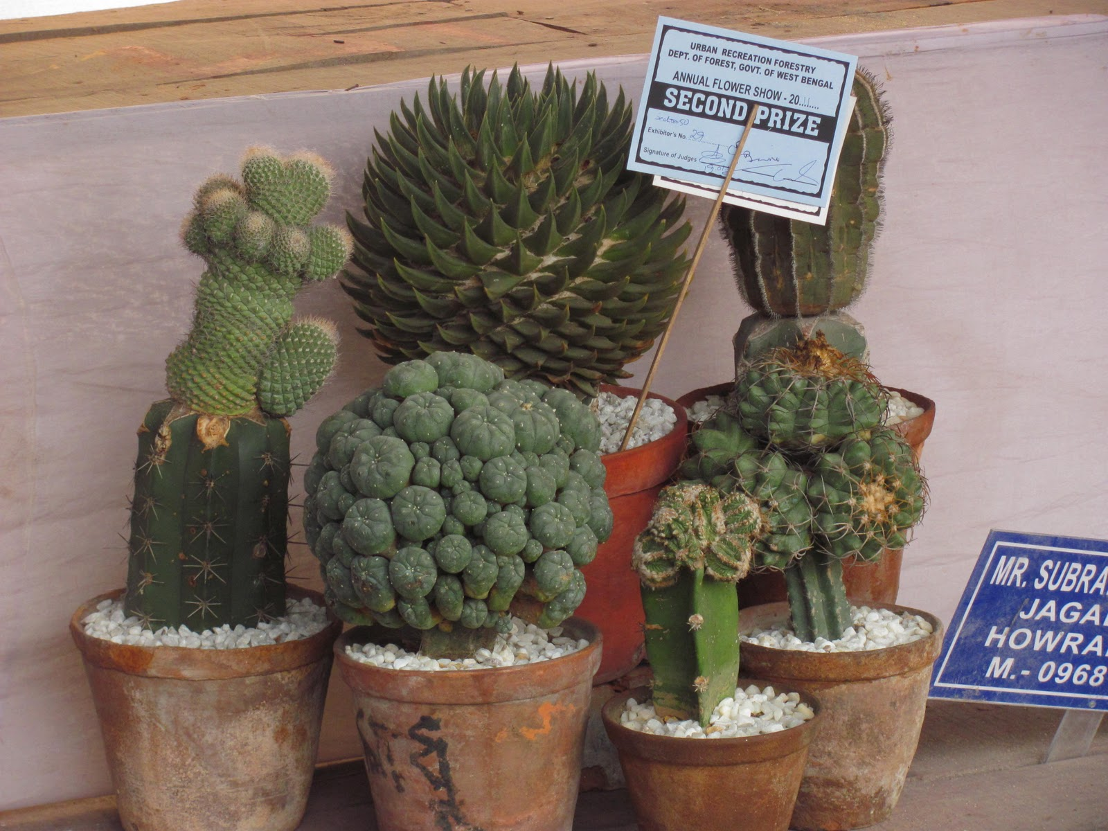 Own Cactus Cactus At Eden Garden Flower Show Jan 2011 At Kolkata