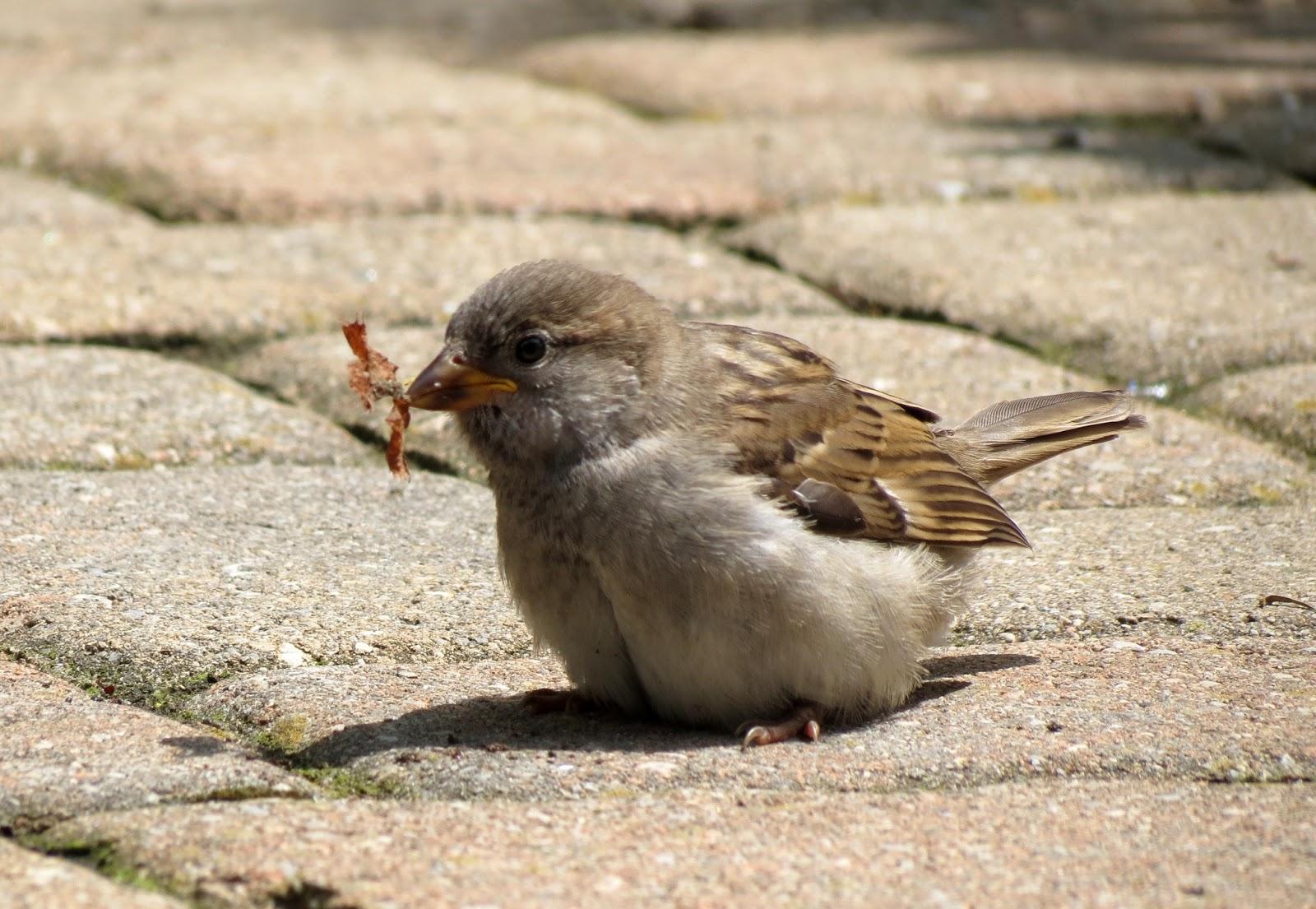 fledgling grackle - photo #30