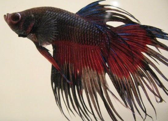 Meraup Untung dari Budidaya Ikan Cupang