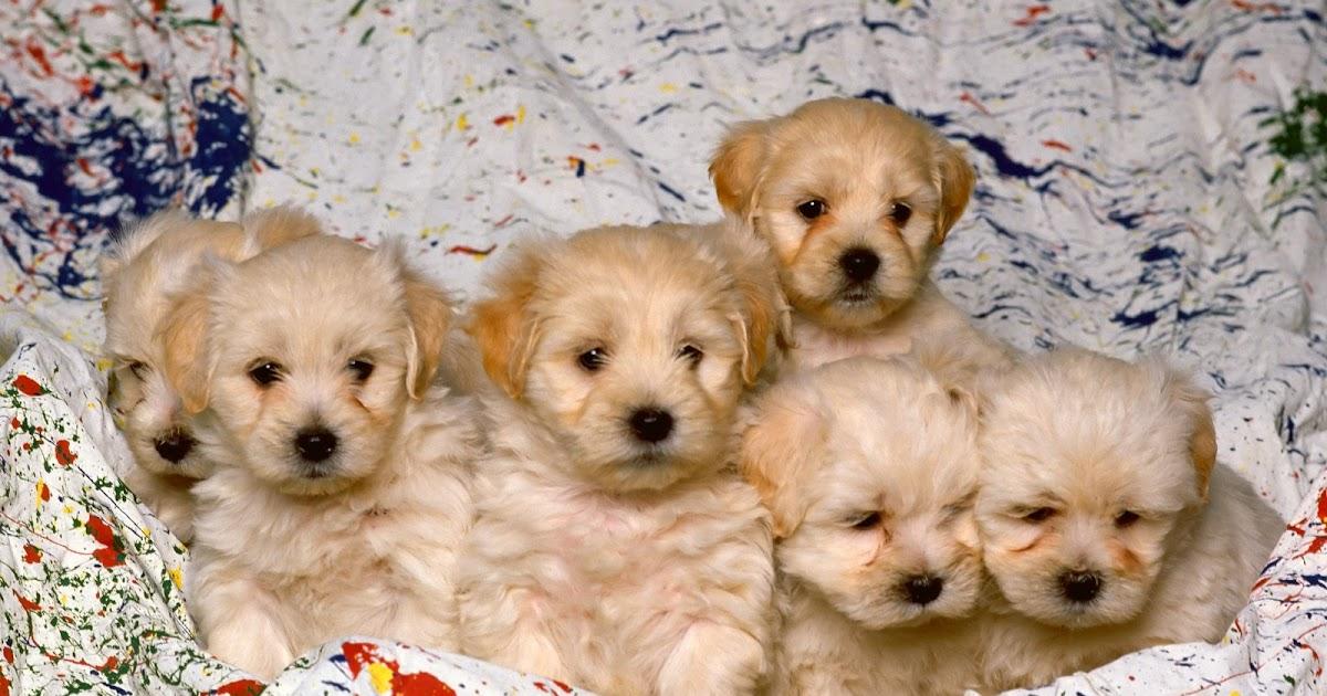 puppies wallpaper hd 235 - photo #22