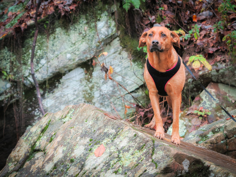 A dog in a harness stood on a large rock