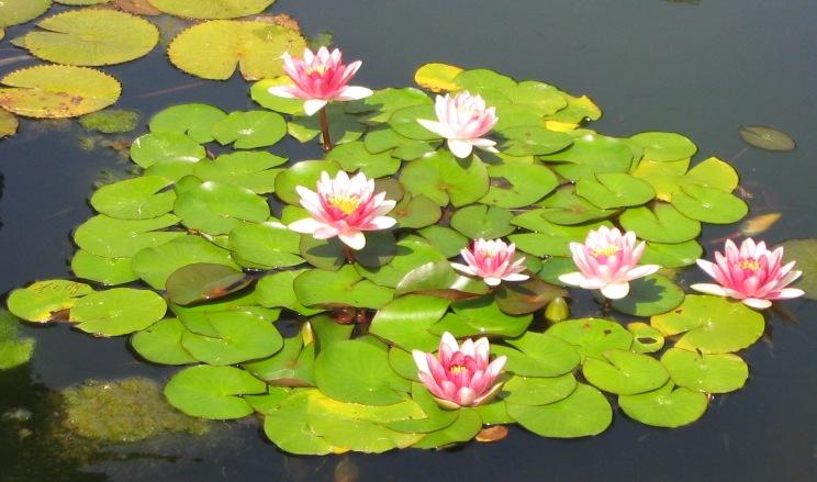 las plantas y sus nombres las plantas acuaticas