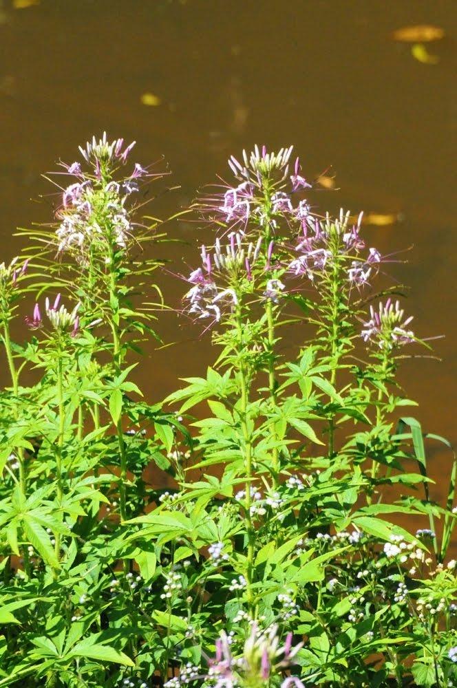 Tarenaya hassleriana _5924 - Brassicaceae