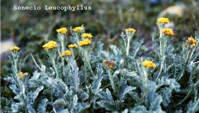 Séneçon, sénecio Leucophyllus.