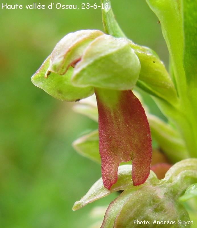 orchid es du b arn observation en haute vall e d 39 ossau. Black Bedroom Furniture Sets. Home Design Ideas