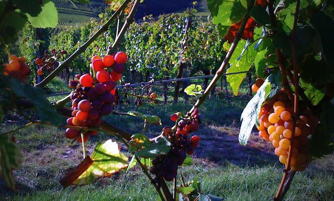 Kientzheim vineyard (Alsace)