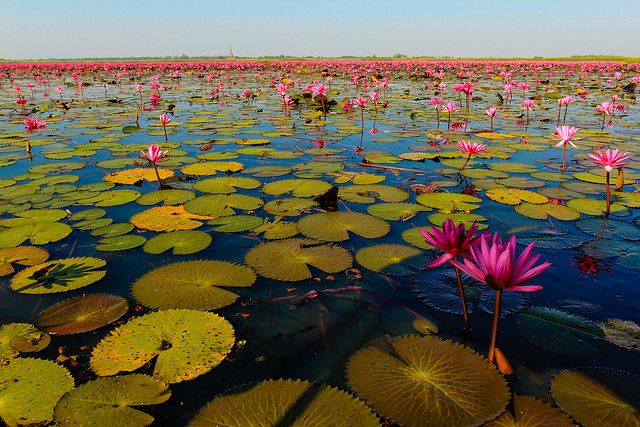 Talay-Bua-Daeng-Lotus-lake