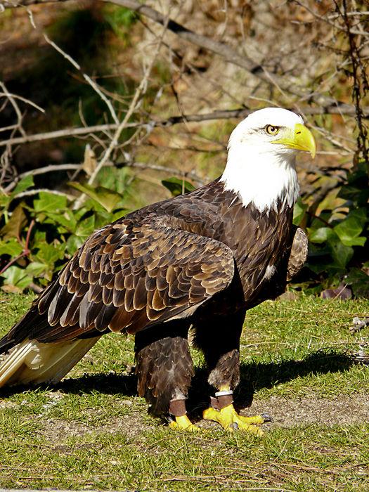 Águila colombia animales salvajes