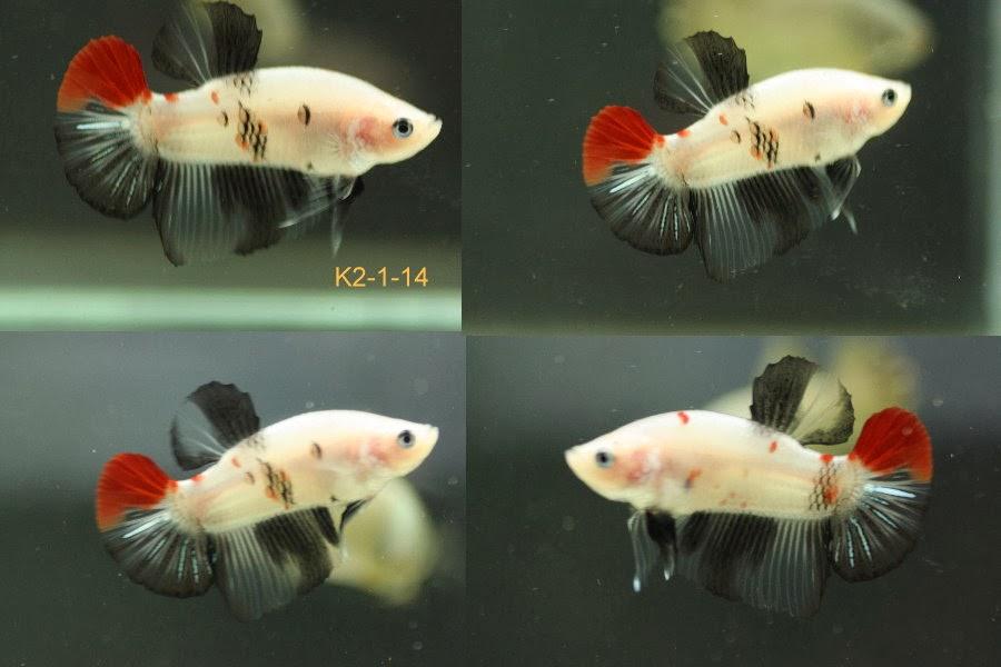Bettazone betta of the week young koi betta for Female koi fish