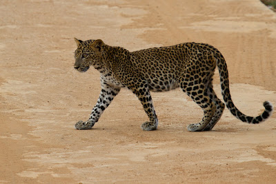 The Leopard cub crosses the road - Yala, Sri Lanka
