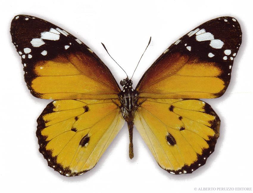 Universo dei lepidotteri 43 danaus chrysippus - Colorazione dei bruchi ...