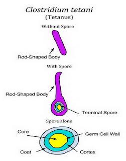 Clostridium Tetani - Tetanus