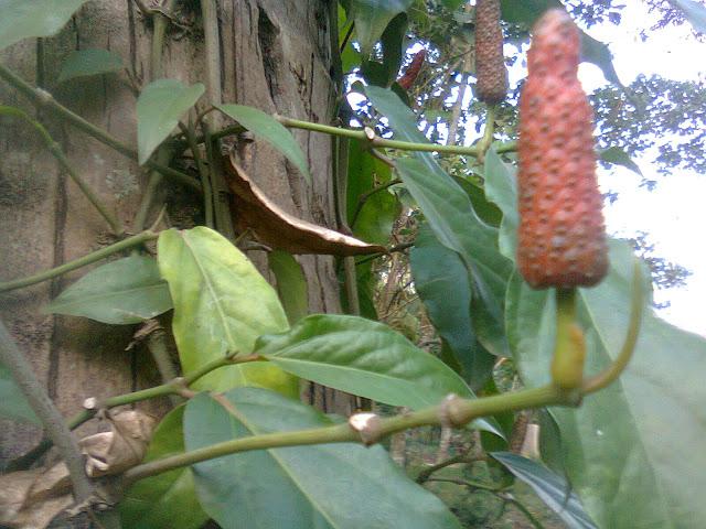 Cabai Jawa Menempel Pada Substrat Pohon Kelapa