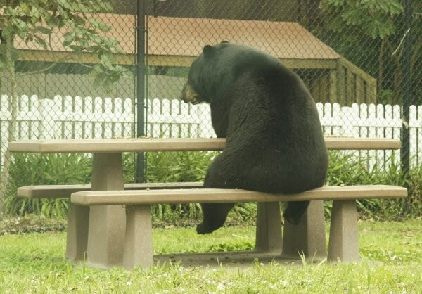 Funny animals of the week - 21 March 2014 (40 pics), funny animal pictures, black bear sits on park bench