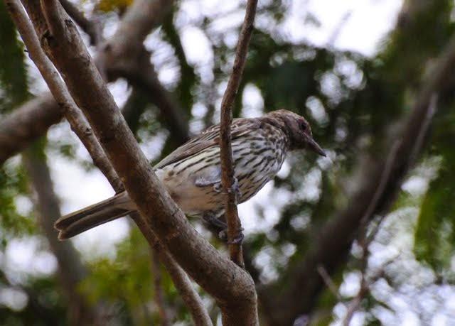 Australian Figbird, female